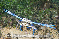 Blue Swimmer Crabs mating Photo - Gary Bell
