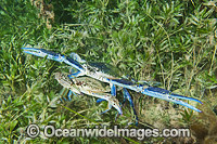 Blue Swimmer Crabs mating image