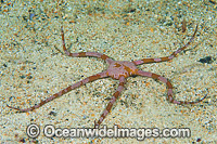 Brittle Star Ophiothrix assimilis photo