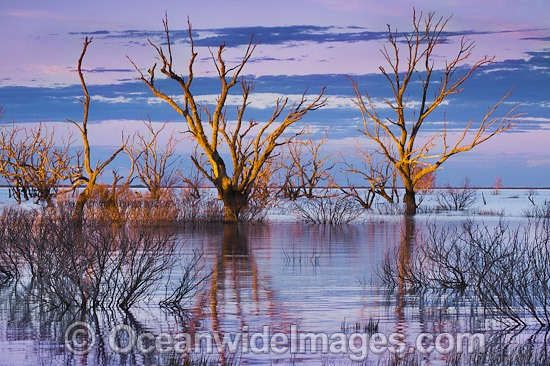 Scenic landscape showing dead River Red Gum Trees (Eucalyptus camaldulensis), silhouetted on Lake Menindee at dawn sunrise. Near Broken Hill, New South Wales, Australia. Photo - Gary Bell