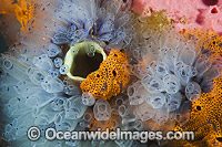 Tunicates on Jetty pylon Photo - Gary Bell