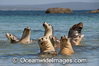 Australian Sea Lion Hopkins Island Photo - Gary Bell