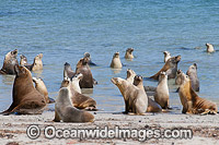 Australian Sea Lion bulls in shallows Photo - Gary Bell