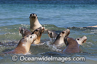 Australian Sea Lions on Hopkins Island Photo - Gary Bell