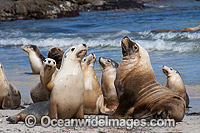 Australian Sea Lion bulls on beach Photo - Gary Bell