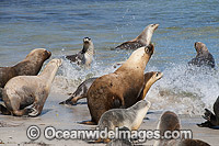 Australian Sea Lions entering ocean Photo - Gary Bell