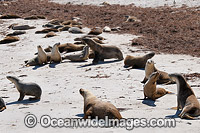 Australian Sea Lion resting on beach Photo - Gary Bell