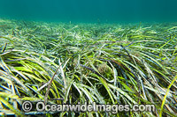 Seagrass Southern Australia Photo - Gary Bell