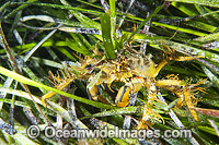 Decorator Crab in Sea Algae Photo - Gary Bell