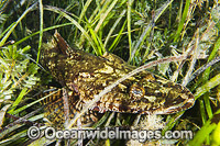 Flathead resting in Sea Grass photo