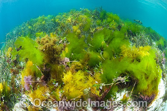 Sea Lettuce Ulva australis photo