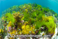 Sea Lettuce Ulva australis Photo - Gary Bell