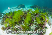 Banded Sweep amongst Sea Lettuce photo
