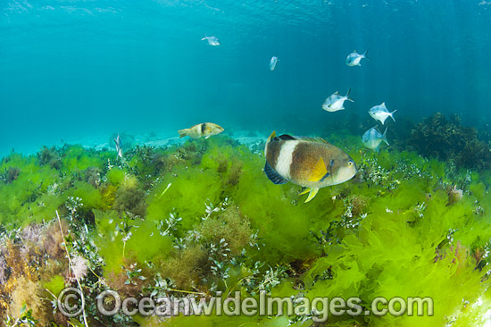 Blue-throated Wrasse (Notolabrus tetricus) and Banded Sweep (Scorpis aequipinnis), amongst Sea Lettuce (Ulva australis) and a variety of other sea alga. Photo taken at Hopkins Island, off Eyre Peninsula, South Australia, Australia. Photo - Gary Bell