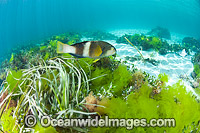 Blue-throated Wrasse amongst Sea Lettuce Photo - Gary Bell