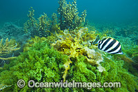 Six-banded Coral Fish amongst Sea Alga Photo - Gary Bell