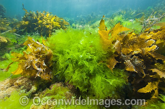 Sea Lettuce and Sea Alga photo