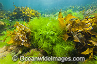 Sea Lettuce and Sea Alga Photo - Gary Bell