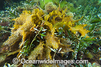 Sea Alga South Australia Photo - Gary Bell