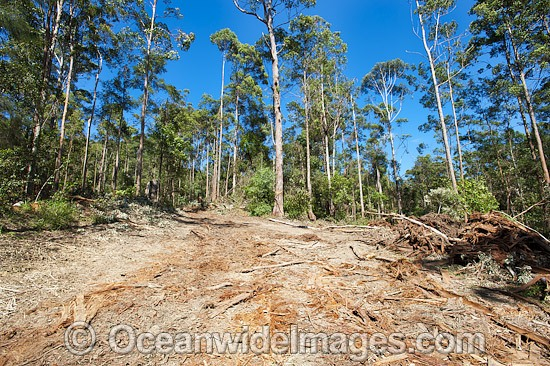 First stage of logging in the Boambee State Forest. Boambee, near Coffs Harbour, New South Wales, Australia. January, 2012. Photo - Gary Bell