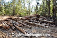 State Forest harvested trees Photo - Gary Bell