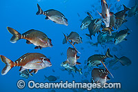 Red Morwong Cheilodactylus fuscus photo