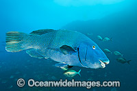 Eastern Blue Groper Achoerodus viridis photo