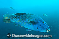 Eastern Blue Groper Solitary Islands Photo - Gary Bell
