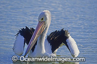 Australian Pelican on Menindee Lake Photo - Gary Bell