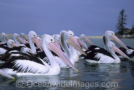 Australian Pelicans (Pelecanus conspicillatus), resting on the surface of the ocean. This large water bird is found throughout Australia and New Guinea. Also in Fiji and parts of Indonesia and New Zealand. Central New South Wales coast, Australia. Photo - Gary Bell