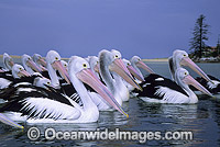 Australian Pelicans on Menindee Lake Photo - Gary Bell