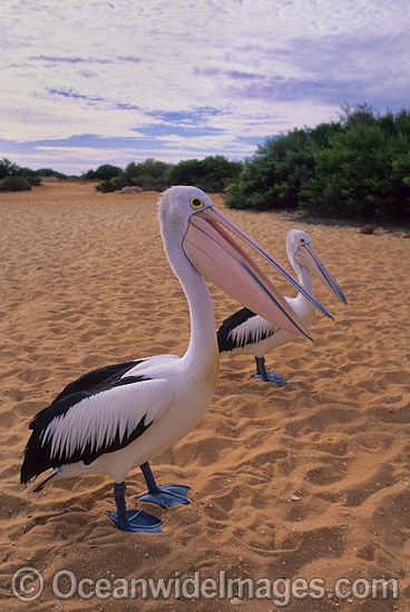 Australian Pelican (Pelecanus conspicillatus). This large water bird is found throughout Australia and New Guinea. Also in Fiji and parts of Indonesia and New Zealand. Photo taken at Shark Bay, Western Australia. Photo - Gary Bell