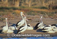 Australian Pelicans beside Menindee Lake Photo - Gary Bell