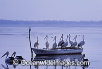 Australian Pelicans resting on boat Photo - Gary Bell