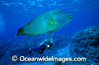 Scuba Diver and Napolean Wrasse photo