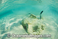 Cowtail Stingray emerging from sand photo