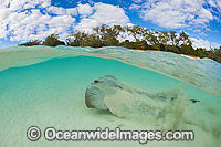 Cowtail Stingray Great Barrier Reef photo