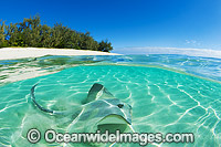 Cowtail Stingray at Heron Island photo