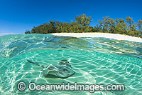 Cowtail Stingray Pastinachus sephen photo