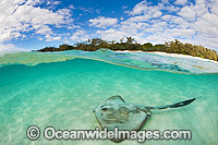 Cowtail Stingray at Heron Island Photo - Gary Bell