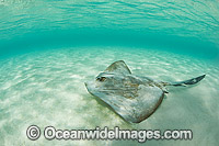 Cowtail Stingray Great Barrier Reef Photo - Gary Bell