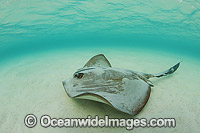 Cowtail Stingray Photo - Gary Bell