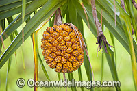Pandanas Palm seed pod photo
