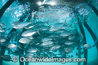 Big-eye Trevally under jetty Photo - Gary Bell
