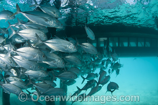 Big-eye Trevally (Caranx sexfasciatus) schooling around the pylons of a jetty. Also known as Horse-eye Jacks. Found throughout the Indo-Pacific. Photo taken at Heron Island Great Barrier Reef Queensland Australia.