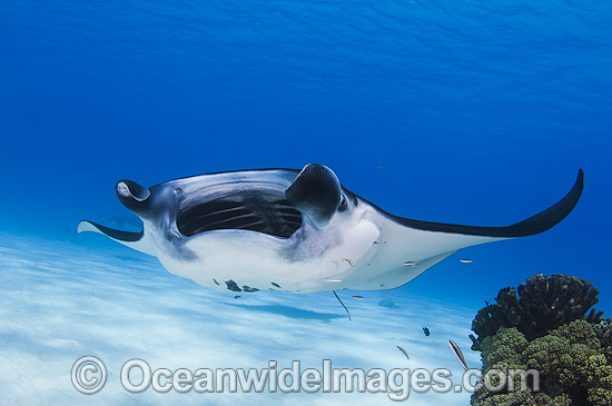 Reef Manta Ray (Manta alfredi). Also known as Devilfish and Devilray. Found throughout the Indo-Pacific in tropical and subtropical waters, but also recorded in the tropical east Atlantic. Photo taken at Cocos (Keeling) Islands, Australia.