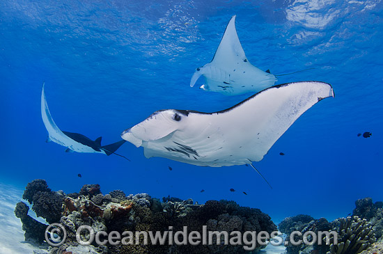 Reef Manta Rays (Manta alfredi). Also known as Devilfish and Devilray. Found throughout the Indo-Pacific in tropical and subtropical waters, but also recorded in the tropical east Atlantic. Photo taken at Cocos (Keeling) Islands, Australia.