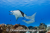 Reef Manta Rays Cocos Island photo