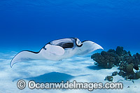 Reef Manta Ray Cocos Island photo