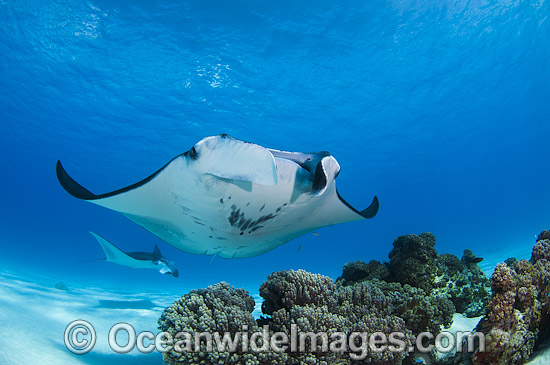 Reef Manta Rays (Manta alfredi). Also known as Devilfish and Devilray. Found throughout the Indo-Pacific in tropical and subtropical waters, but also recorded in the tropical east Atlantic. Photo taken at Cocos (Keeling) Islands, Australia. Photo - Karen Willshaw